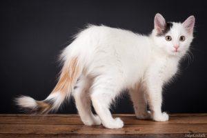 Белые породы кошек с фото - котенок турецкий ван