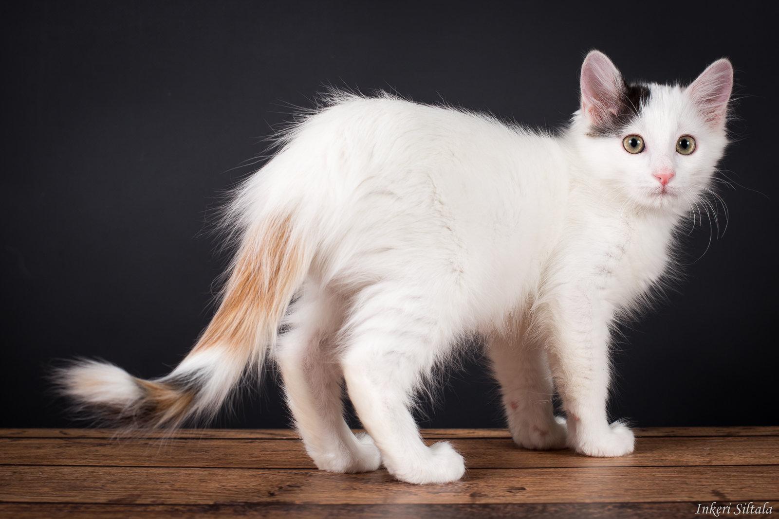 Рыже белый кот что за порода