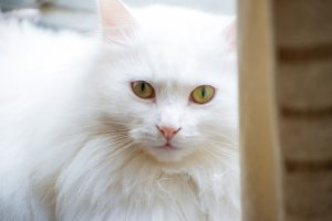 Породы белых кошек зелеными глазами - Турецкая ангора