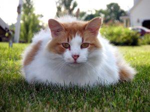 Породы белых кошек зелеными глазами - турецкий ван