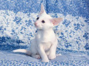 Породы белых кошек название и фото