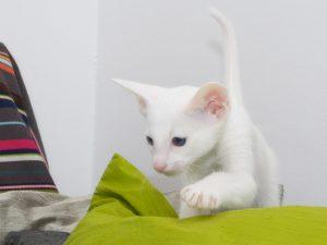 Породы белых кошек - название форин вайт