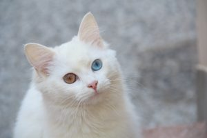 Породы белых кошек разными глазами - Турецкая ангора