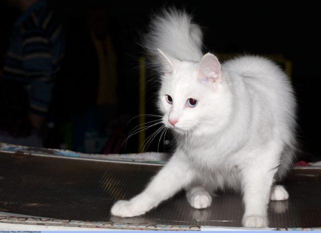 Породы белых кошек с голубими глазами - Турецкая ангора