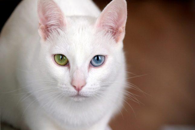 Породы белых кошек с голубыми глазами - Као мани