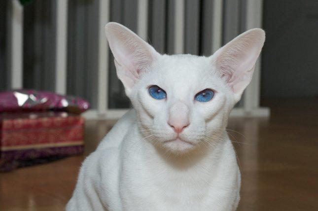 Породы белых кошек с голубыми глазами - Форин Вайт