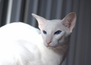 Породы белых кошек с фотографиями - Форин Вайт