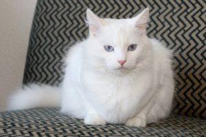 Породы белых пушистых кошек - фото Турецкой ангоры