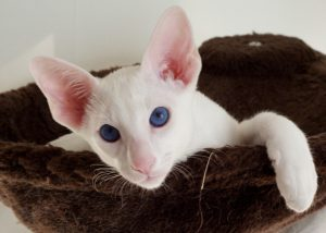 Породы кошек белого окраса - форин вайт