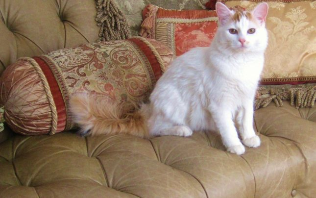 Породы рыже белых кошек - Турецкий ван