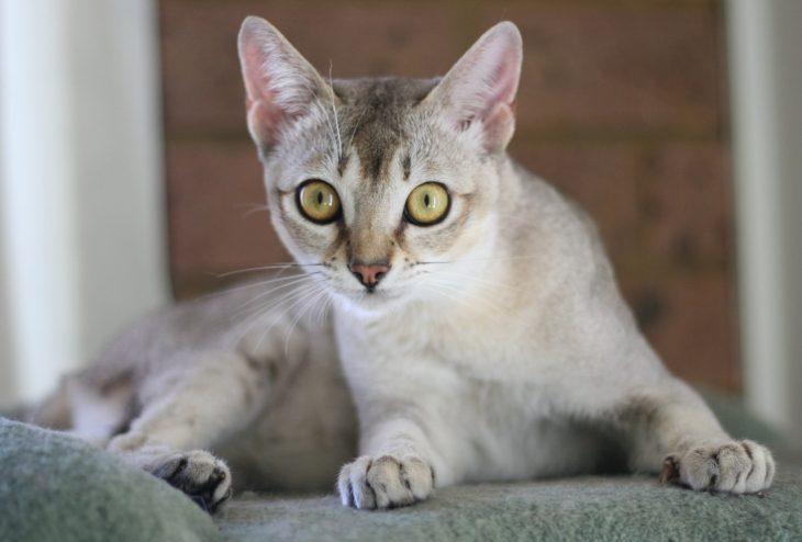 Маленькие породы кошек с фотографиями - Сингапурская кошка