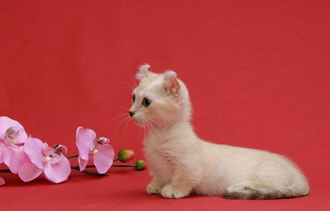 Маленькие породы кошек - фото Кинкалоу
