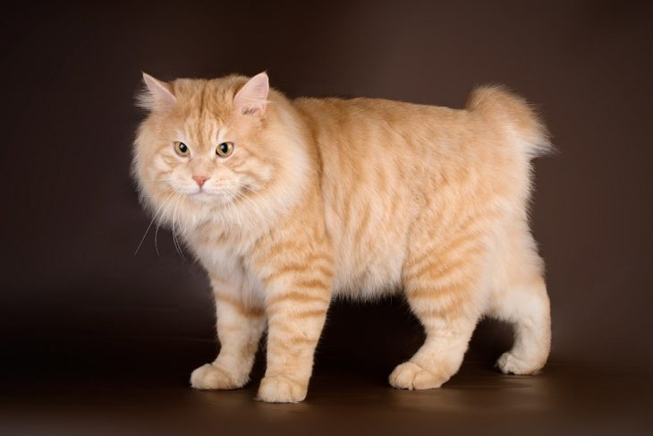 Порода кошек рыжего цвета - Курильский бобтейл