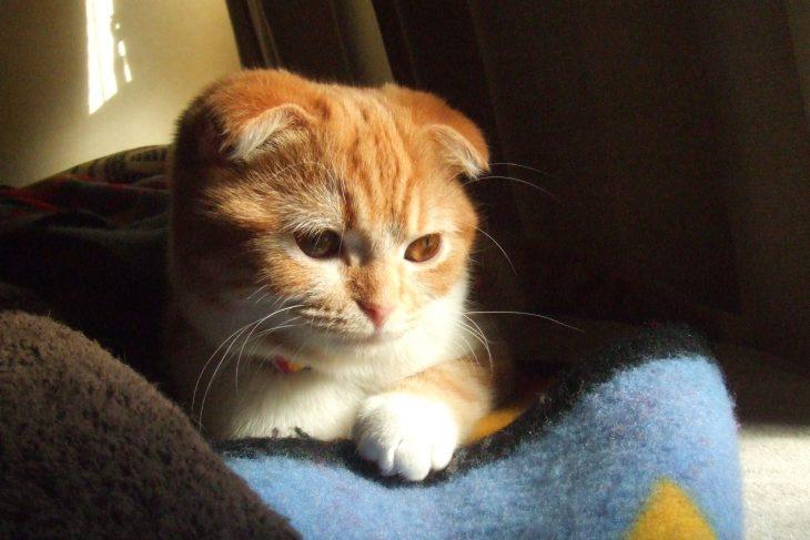 Породы кошек рыжего окраса - Скоттиш-фолд