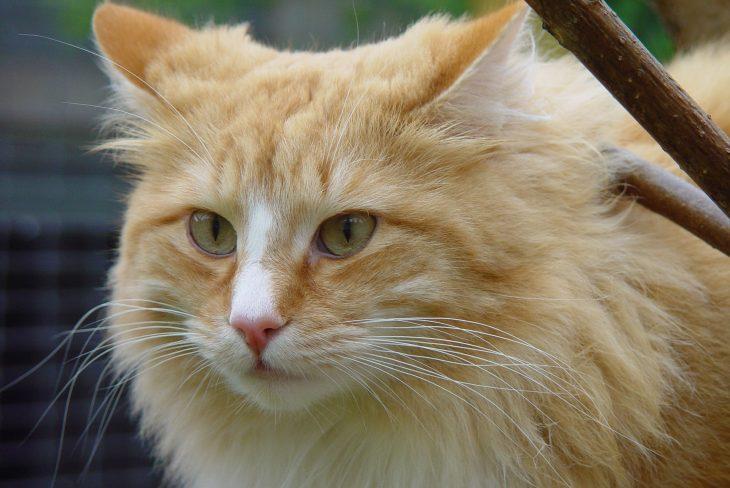 Породы кошек рыжие фото норвежской лесной кошки