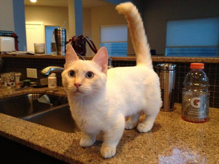 Породы маленьких короткошерстных кошек - Манчкин