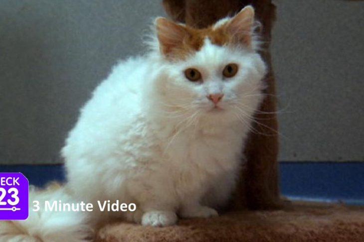 Породы маленьких кошек с фотографиями - Скукум