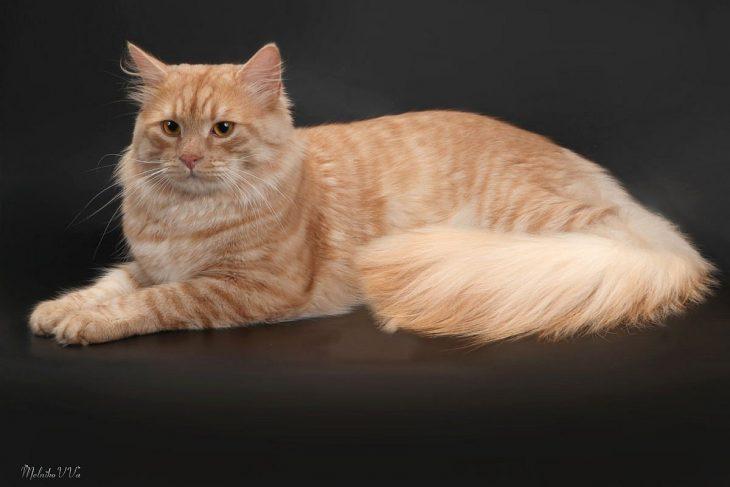 Породы рыжих кошек с фотографиями - сибирская кошка