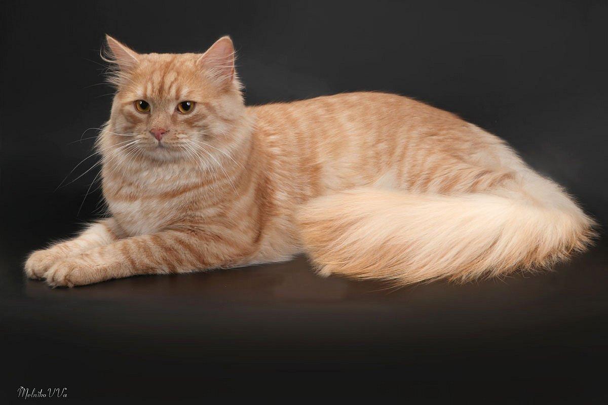 Порода длинноухих котов