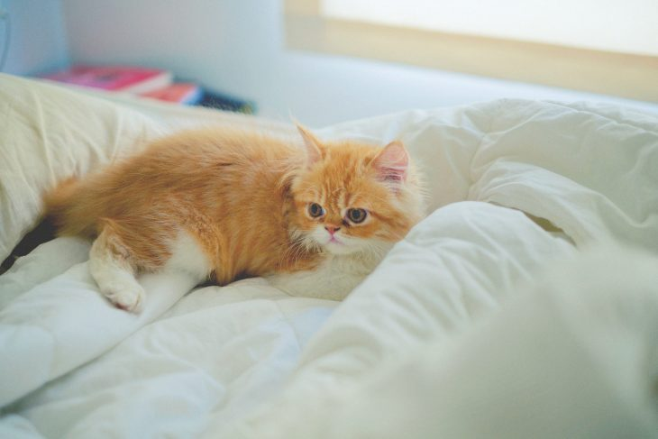 Породы рыжих кошек с фотографиями и названиями - Персидская кошка