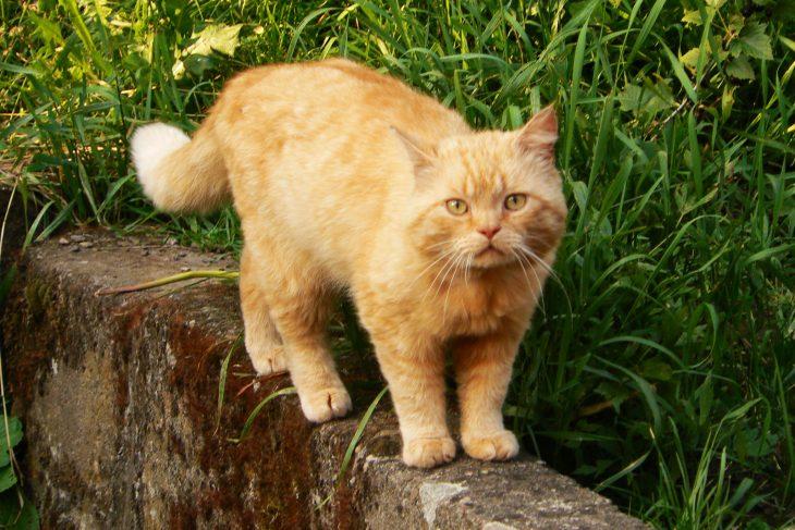 Породы рыжих кошек - фото британской короткошерстной
