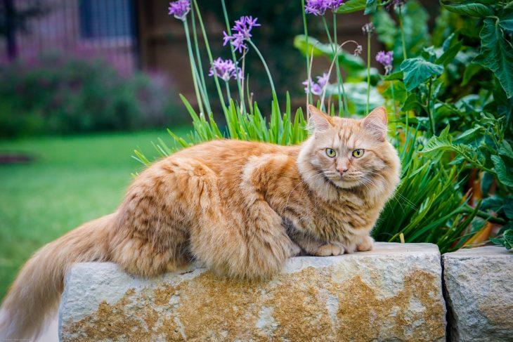 Рыжие кошки породы мейн кун