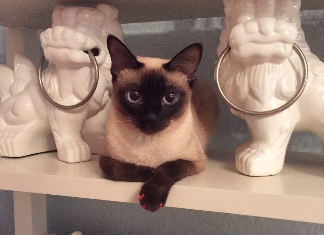 Самая маленькая порода кошек - Скиф-тай-дон