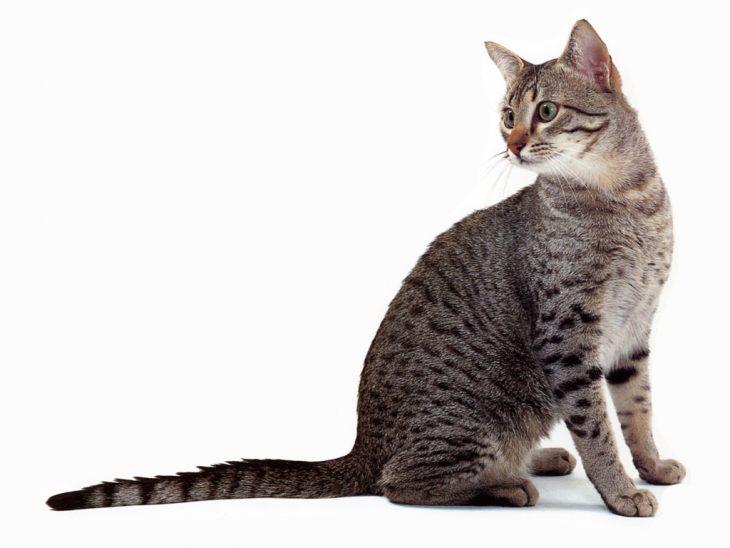 Аравийский мау - фото пятнистых кошек