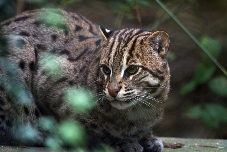 Дикие пятнистые кошки - Виверровый кот рыболов