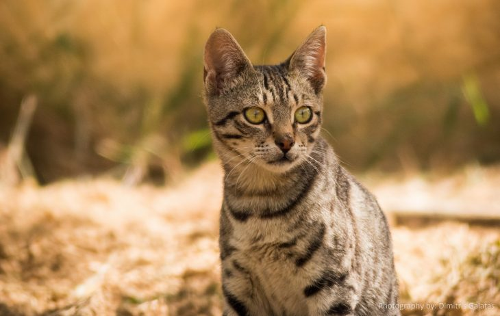Пятнистые кошки - порода Саванна
