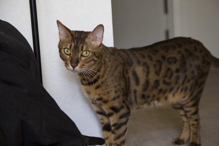 Пятнистые кошки - фото бенгальского кота