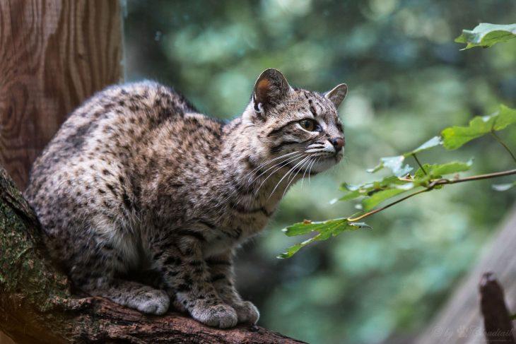 Пятнистые породы кошек - Кошка Жоффруа