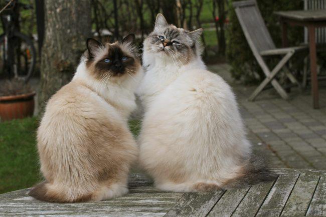 Бирма - кошка похожая на сиамскую но пушистая