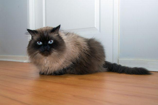 Гималайская кошка - пушистая порода с сиамсим окрасом