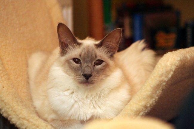 Кошки похожие на сиамских - фото балинезийской породы