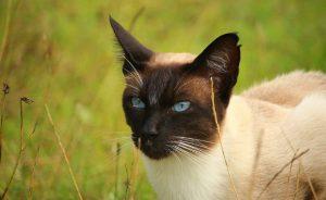 Порода кошек похожих на сиамских