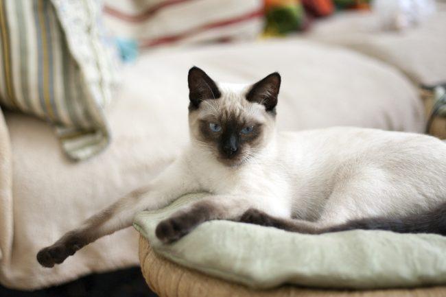 Тайская кошка - порода кошек похожих на сиамских