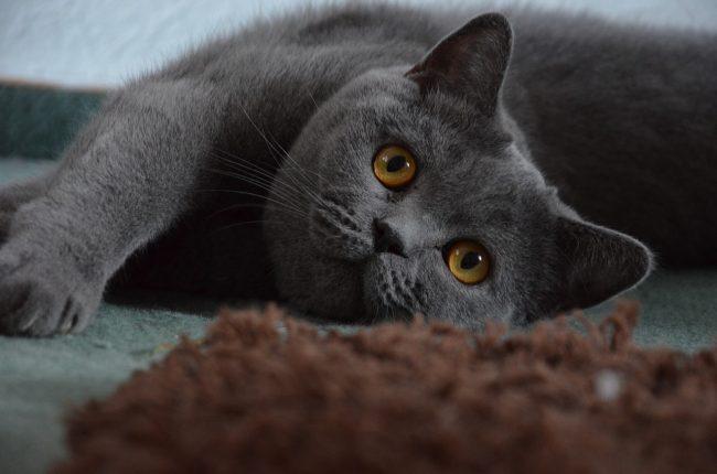 Имена для британских кошек - как назвать котенка