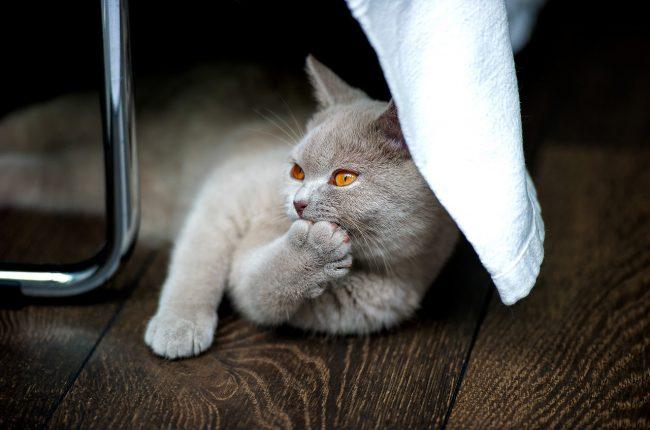 Имена для британской кошки