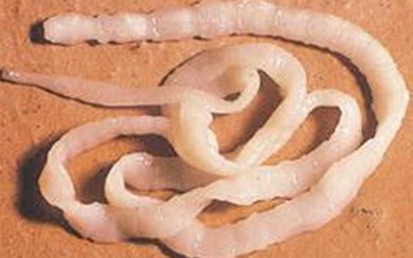 цестоды и паразиты человека