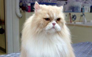 Стрижка кошек - ответы на частые вопросы
