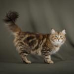Питомник традиционных сибирских кошек «Сибирская Магия»