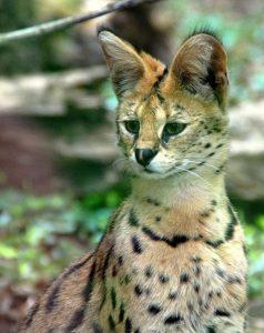 Кошка Сервал фото