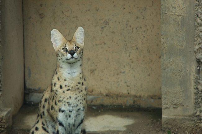 Фото кошки породы Сервал