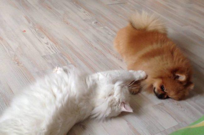 Как подружить кошку с собакой в доме