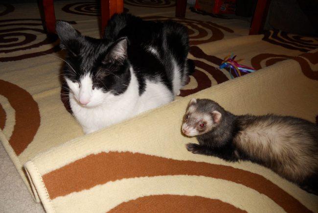 Уживаются ли хорьки с кошками в домашних условиях