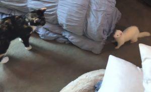 Уживаются ли хорьки с кошками