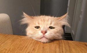Ушной клещ у кошки - лечения