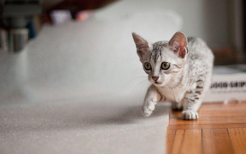 Єгипетський мау кошеня