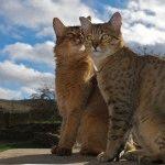 Єгипетський мау кіт
